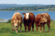 Cattle with water in the background 80x53