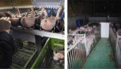 'Supermarkt bepaalt hoe dieren in de stal behandeld worden'